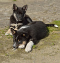 Lapponian Herder. Merry Puppies Stock Images - 80620414