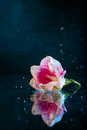 Pink Flower With Water Drops Over Dark Blue Background. Royalty Free Stock Photography - 80633027