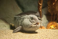 Atlantic Wolffish Anarhichas Lupus Royalty Free Stock Image - 80676116