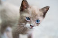 Portrait Of Beautiful Kitty With Blue Eyes Royalty Free Stock Images - 80738719