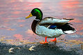 Duck Drake Royalty Free Stock Photography - 80769027
