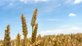 Ripe Wheat Fields At The End Of Summer In The Maritime Province Stock Photography - 80798872
