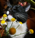 Black And White Cat With Pleasure Is Sniffing Chamomile. Royalty Free Stock Photography - 80800177