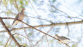 Mourning Doves, Turtle Doves Zenaida Macroura On A Tree Branch. Stock Photography - 80803412
