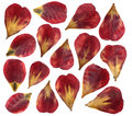 Dried And Pressed Petals Of Tulip Flower. Isolated On White Background. Stock Photos - 80834803