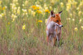 Red Fox Royalty Free Stock Photography - 80850967