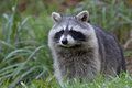 Racoon Royalty Free Stock Photography - 80884407