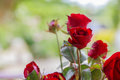Red Rose Blooming. Royalty Free Stock Images - 80887579