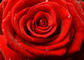 Red Rose Close Up Stock Image - 8098111