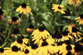 Black-eyed Susan And The Bee Royalty Free Stock Photos - 8099858