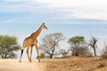 South African Giraffe Royalty Free Stock Photography - 80905287