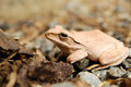 Close Up And Focus Shrub Frog, Polypedates Leucomystax, Tree Frog / Type Of Fog In Nature Stock Photography - 80954732
