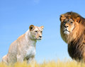 Male And Female Lion Royalty Free Stock Photography - 80964217