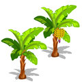 Two Palm Trees With Hanging Bananas And Without Stock Photography - 80976482