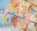 Red And Yellow Leaves Against A Bright Blue Sky. Stock Images - 80979214