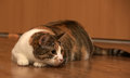 Fat Cat Playing Royalty Free Stock Photos - 81041348