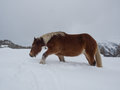 Haflinger  Horse Trudging Through  Deep Snow Royalty Free Stock Photos - 81057948