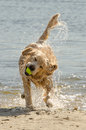 Golden Retriever Stock Photo - 81092260