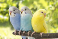 Three Budgies Are In The Roost Stock Photos - 81158043