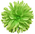 Green  Big Autumnal Flower, Green Center On A White  Background Isolated  With Clipping Path. Closeup. Big Shaggy  Flower. For Des Stock Images - 81185784