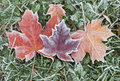 Frozen Autumn Maple Leaves Stock Photography - 81241782