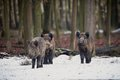 Big Wild Boar In The European Forest Royalty Free Stock Photos - 81257278