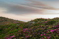 Rhododendron On A Rocky Mountainside Royalty Free Stock Images - 81270269