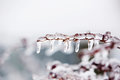 Glazed Tree Branch After Winter Ice Storm, Snow And Frozen Rain Royalty Free Stock Photography - 81282907