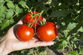 Red Tomatoes On Vine Stock Image - 81329491
