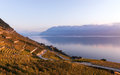 Sunset Over The Vineyard Terraces In Lavaux, Geneva Lake And Alps Mountains Stock Images - 81349424