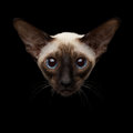 Close-up Portrait Of Oriental Shorthair Kitty Looking At Camera Isolated Black Background Stock Photo - 81353160