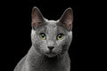 Russian Blue Cat With Amazing Green Eyes On Isolated Black Background Stock Photo - 81353560