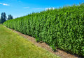 Long Green Hedge With Blue Sky Background Stock Photo - 81362520