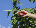 Pruning The Cherry Tree Royalty Free Stock Image - 81384306