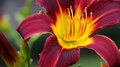 Extreme Close Up Colorful Red And Purple Daylily Royalty Free Stock Photography - 81388407