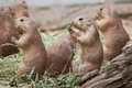 Black-tailed Prairie Dog Cynomys Ludovicianus Royalty Free Stock Photography - 81403837