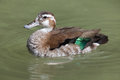 Ringed Teal Callonetta Leucophrys. Stock Photography - 81407902
