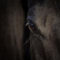 Horse Eye Close-up. Arabian Black Horse Head. Horse Detail On Dark Background. Stock Photos - 81431573