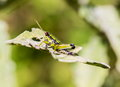 Grasshoppers Of Mexico. Royalty Free Stock Photos - 81434518