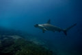 Hammerhead Shark Malpelo Island Royalty Free Stock Photography - 81497317