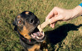Dog Reaching For A Tasty Bone In His Hand Clamped. Against The B Stock Image - 81607421