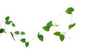 Heart Shaped Green Leaves Vines Isolated On White Background, Cl Royalty Free Stock Photo - 81634435