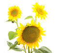 Flowers Sunflowers. Stock Images - 81660184