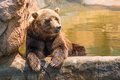 Zoo Grizzly Bear Chilling Royalty Free Stock Images - 81663549
