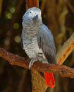 African Grey Parrot Royalty Free Stock Photo - 8172985