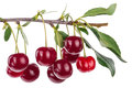 Cherry Branch With Leaves Royalty Free Stock Photography - 81713337