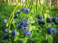 Bush Forest Wild Blueberry With Ripe Blue Berries On Summer Royalty Free Stock Photos - 81714338