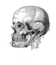 Anatomy, Human Skull Vintage Engraving Royalty Free Stock Images - 81769769