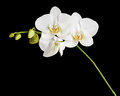 White Orchid Isolated On Black Background. Royalty Free Stock Images - 81814259