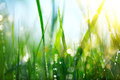 Grass. Fresh Green Spring Grass With Dew Drops Stock Photography - 81868422